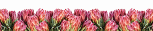 red baron protea runner